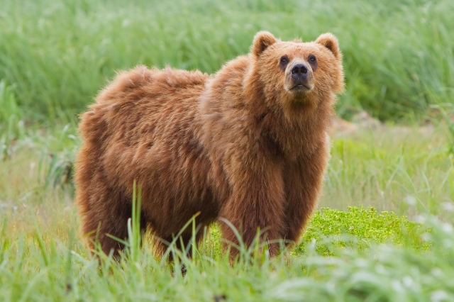"""""""I beg your pardon, but not every bear mauls humans in the summer.  Most of us eat grubs and berries."""" #bearsplaining"""
