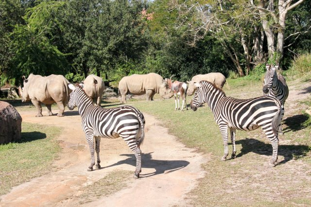 Little known animal fact: zebras and rhinos are the BFFs of the Serengeti.