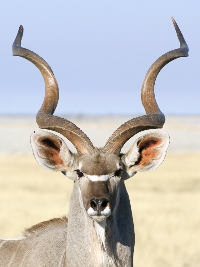 """""""Waitaminute.  Are you telling me that NONE of your Nemo pictures turned out?  And so you are resorting to me, an attractive male kudu to highlight this section for you?"""""""
