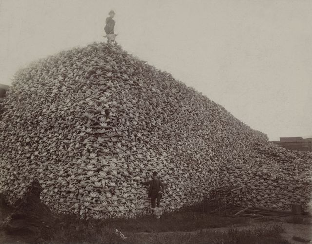 Bison skulls waiting to be ground into fertilizer, circa 1870.