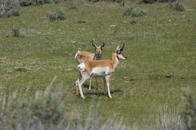 The pronghorn were posing for a 1970s album cover.