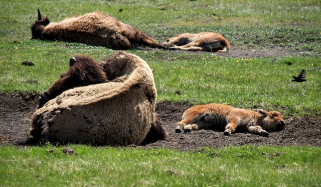 Like any intelligent animal, bison like to take a long, mid-day nap.