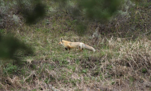 The red fox has one of the longest commutes of any animal in the park.