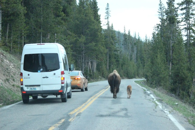 Bison have the longest commutes of any animal in the park.