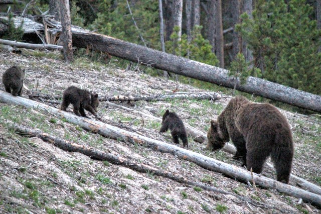 The most dangerous animal in North America. With her adorable cubs.